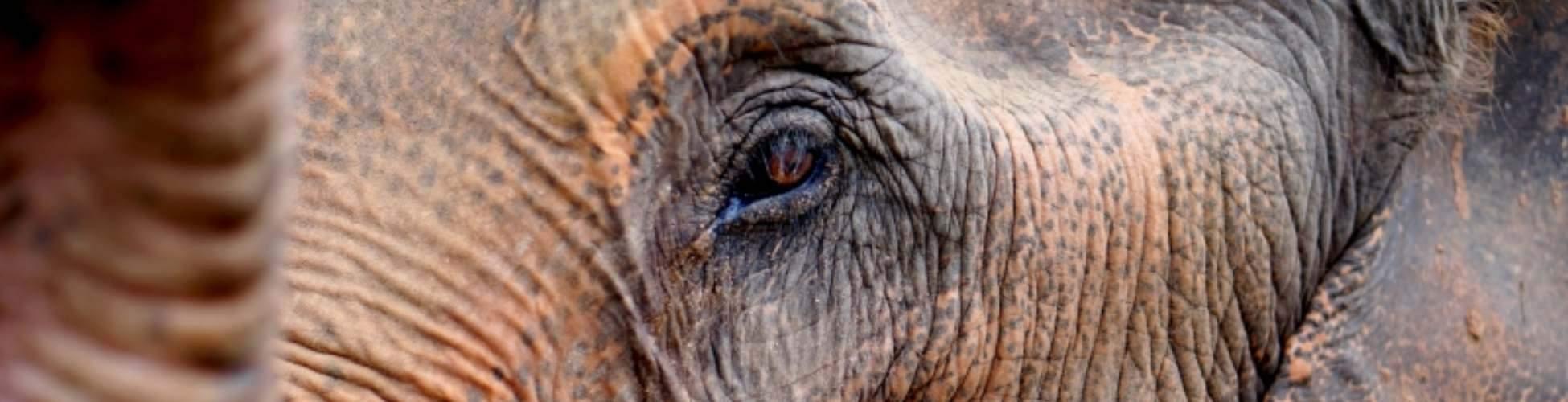chiang mai elephant nature park close up