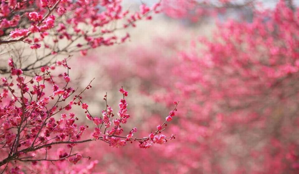 cherry blossom in tet