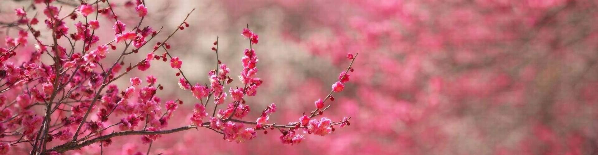 cherry blossom vietnamcherry blossom vietnam